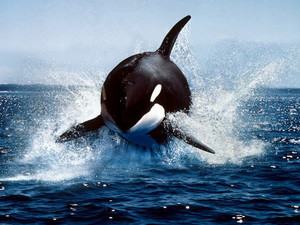 Orca, the Killer balena