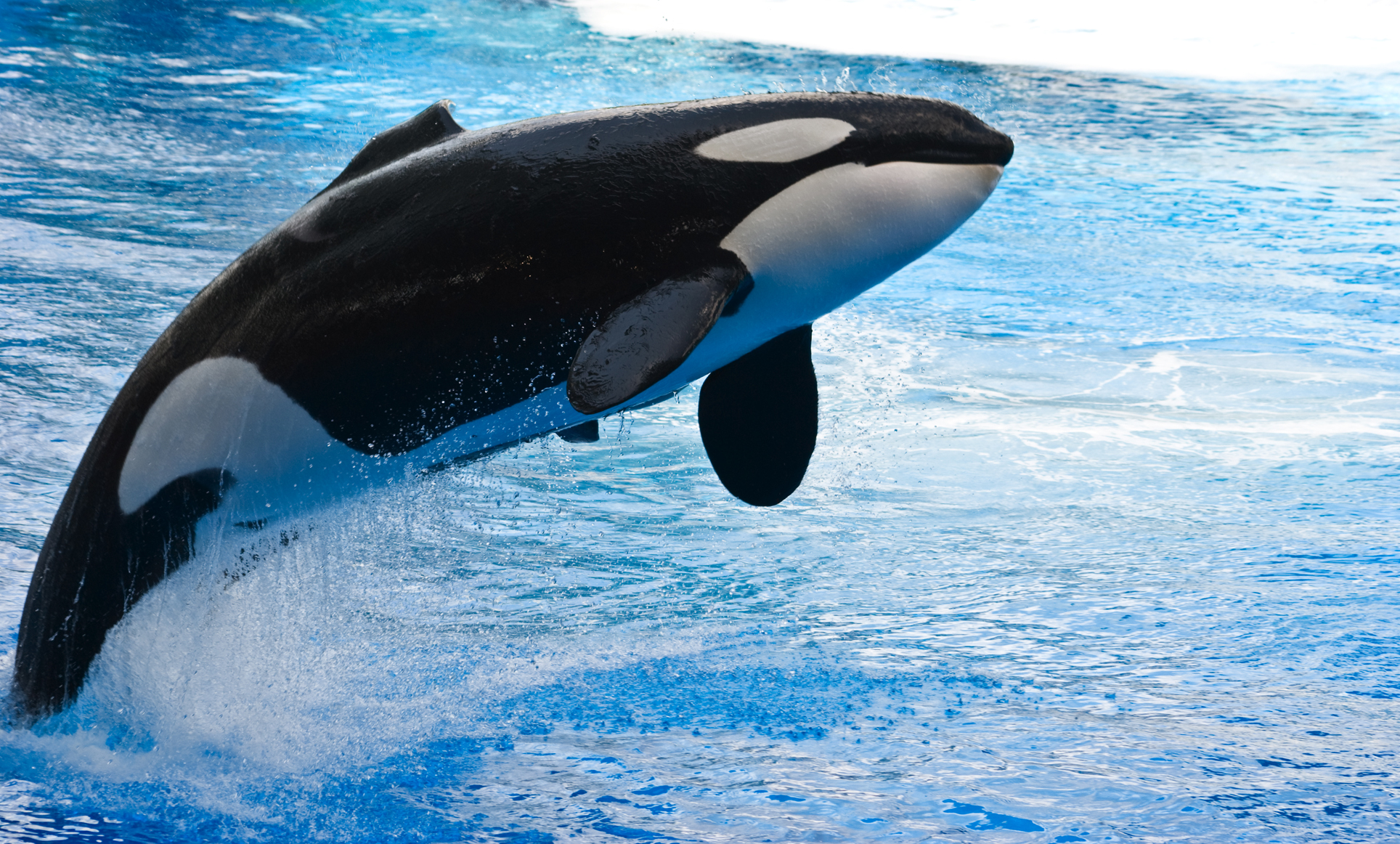 Orca the killer whale movie - photo#9