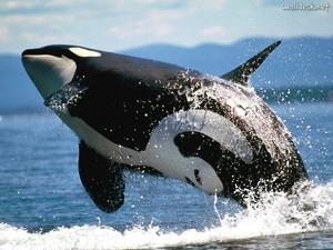 Orca, the Killer balena