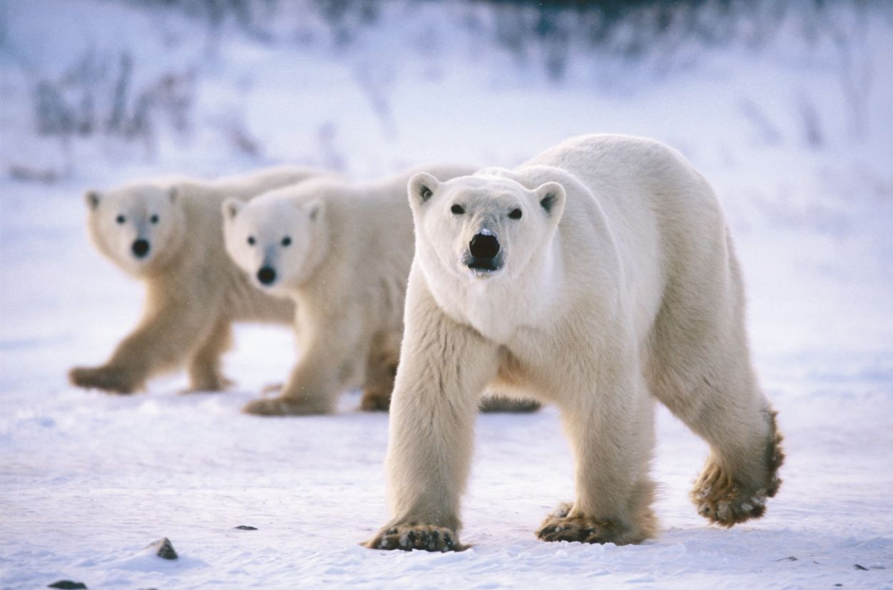 bears! images polar bears hd wallpaper and background photos (35799402)
