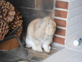 Scratchy - lop-eared-rabbits photo