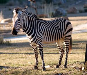zebra, kuda belang