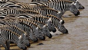 kuda zebra, zebra