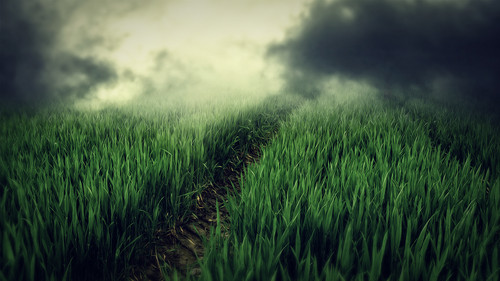 Random پیپر وال with a grainfield, cultivated rice, and a گھاس titled ~ Wallpapers: Full HD ~