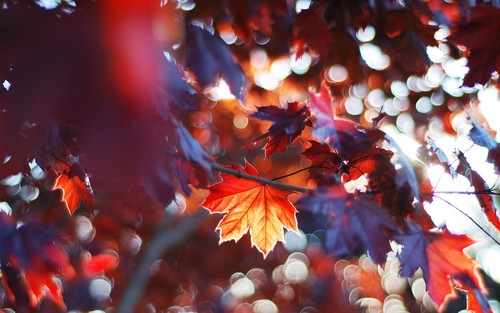 Autumn Wallpaper With A Japanese Apricot Plum And Red Buckeye Entitled