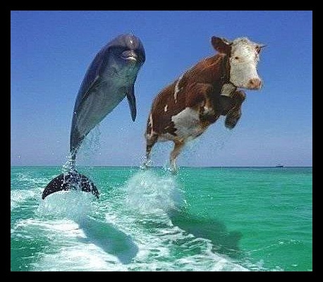 Flying Cows Images Cows Wallpaper And Background Photos 35890183