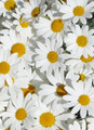 Daisies  - flowers photo