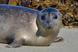 Harbor foca, selo