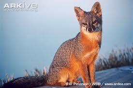 Island fox, mbweha