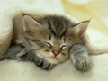 Kitten Taking A Nap - kittens photo