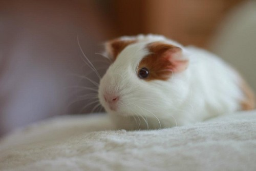 Guinea Pigs wallpaper probably with a guinea pig called Lady <3