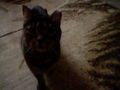 My cat, Sierra - fanpop-pets photo