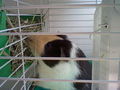 My guinea pig - fanpop-pets photo