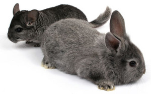 chinchilla اگلے to chinchilla rabbit