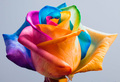 rainbow rose for berni - yorkshire_rose photo