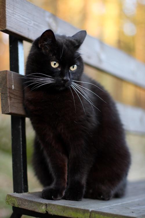 Bombay Cat Bombay Cat Photo 35941639 Fanpop
