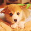Dogs photo entitled Corgi