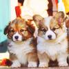 cachorros fotografia titled Corgi
