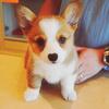 Hunde Foto with a pembroke entitled Corgi