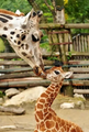 Giraffes  - animals photo