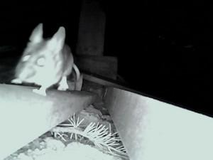 White Eyed Rodent