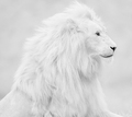 Lion  - animals photo