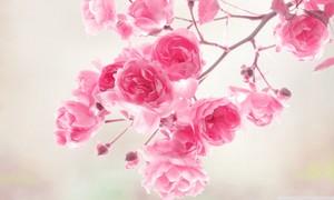 merah jambu Rose