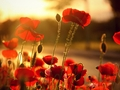 Poppy  - flowers wallpaper