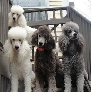 표준 푸들, 표준 푸 들 강아지