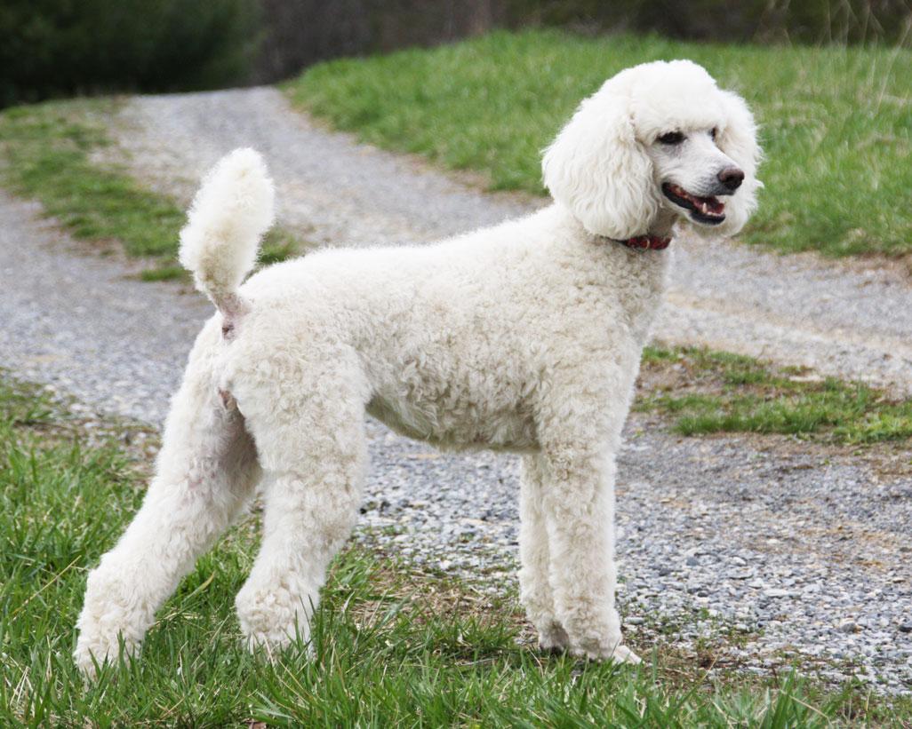 Standard poodles