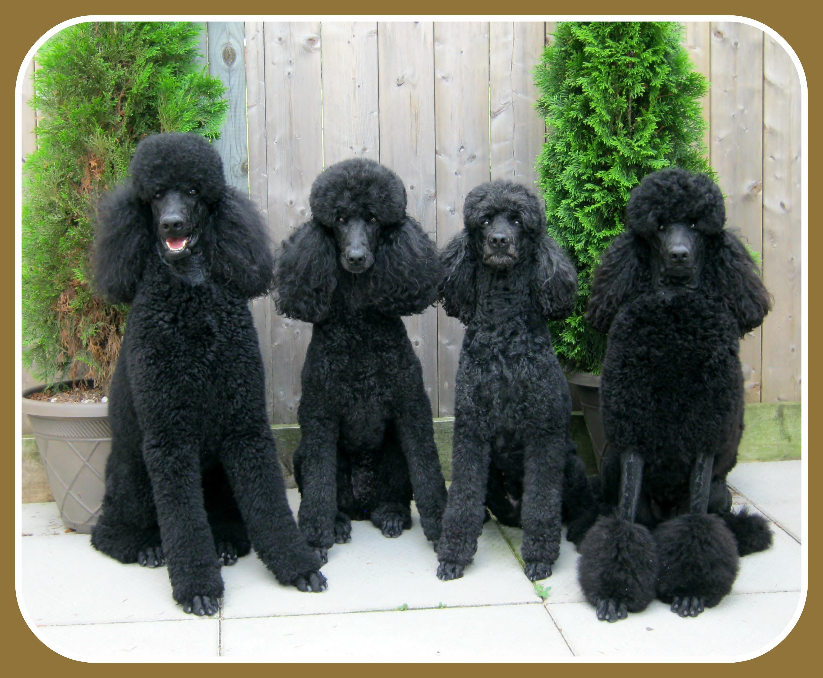 Standard-Poodle-standard-poodle-35917114