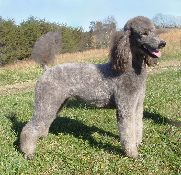 Standard Poodle 🐩 images Standard Poodle HD wallpaper and ...