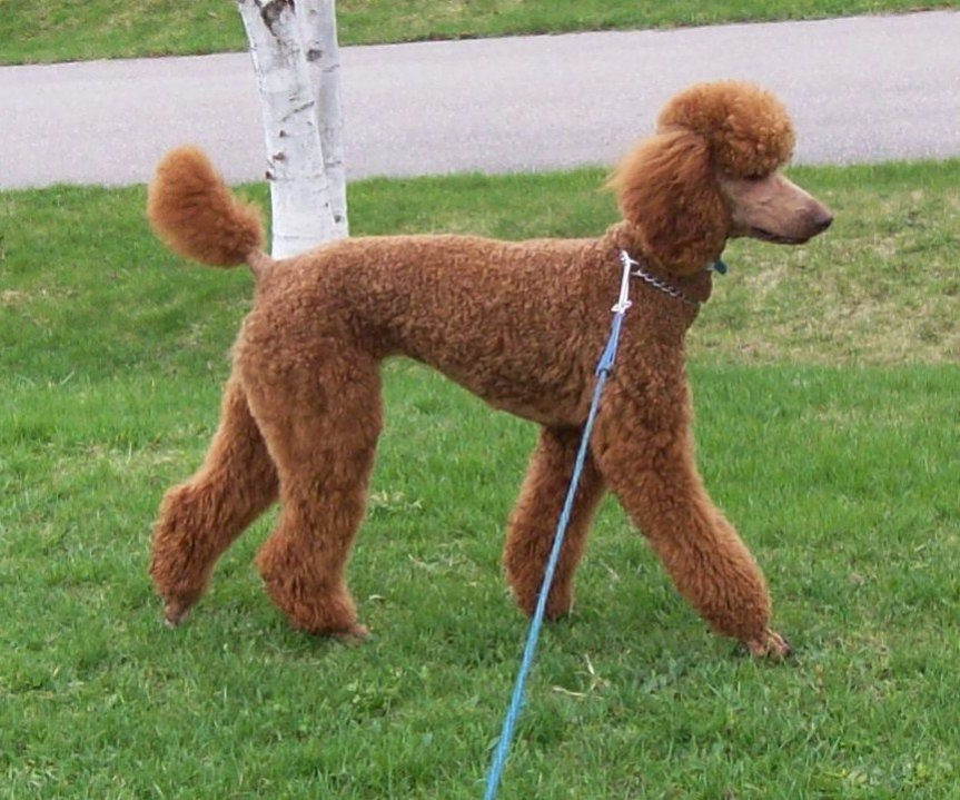 Standard Poodle 🐩 images Standard Poodle HD wallpaper and background photos