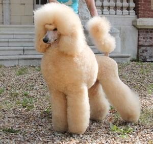 karaniwang poodle