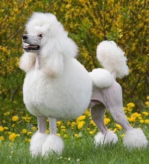 poodle chuẩn, con chó con tiêu chuẩn, tiêu chuẩn chó xù
