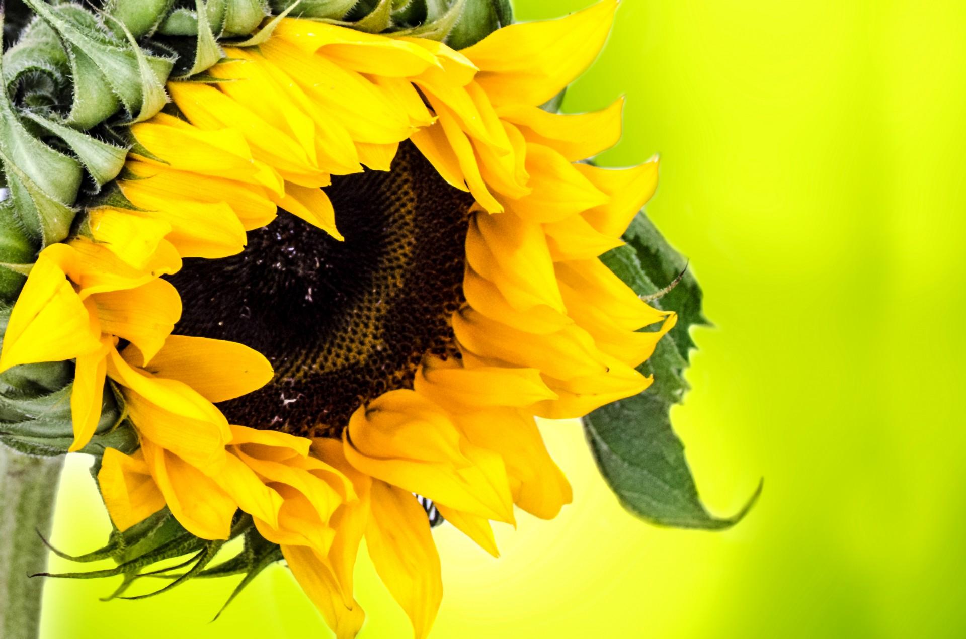 Sunflower Flowers Photo 35964186 Fanpop