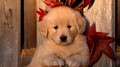 cute golden retriever kertas dinding