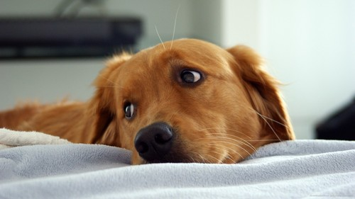 Dogs wallpaper possibly containing a golden retriever titled cute golden retriever wallpaper