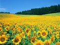 gdg - sunflower-seeds photo