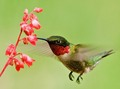 hummingbird - animals photo