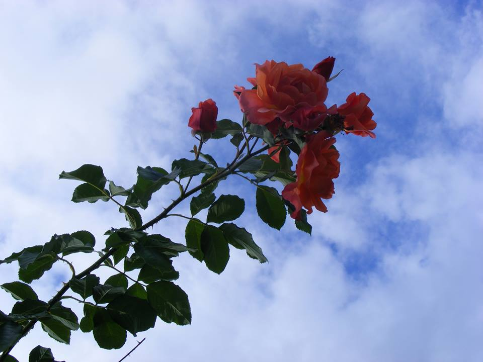 rose in the sky