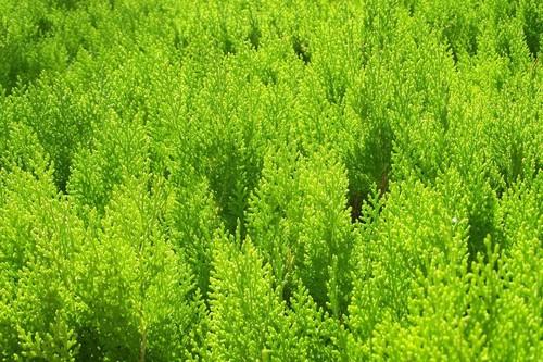 Happy Birthday फैन्पॉप Users वॉलपेपर with a एक प्रकार का रसदार पौधा, स्प्रिंग, spurge entitled verde