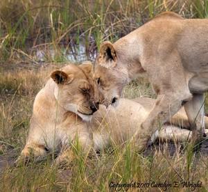 Affectionate Lions