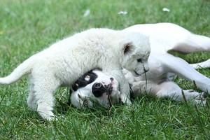 rare white lion born