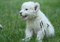 rare white lion born  - animals photo