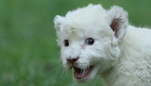 Animals wallpaper titled rare white lion born