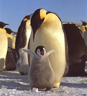 baby pengui9n being playful while his dad watches