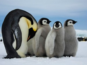 baby penguin trio with dad penguin