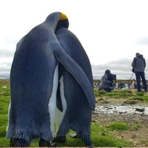 penguin, auk pair snuggling