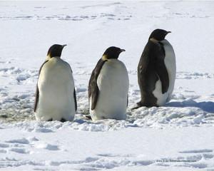 ペンギン trio